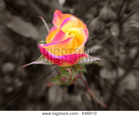 yellowpinkrose