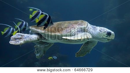 Close-up view of a Loggerhead sea turtle with reef fishes