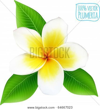 Vector realistic isolated plumeria flower