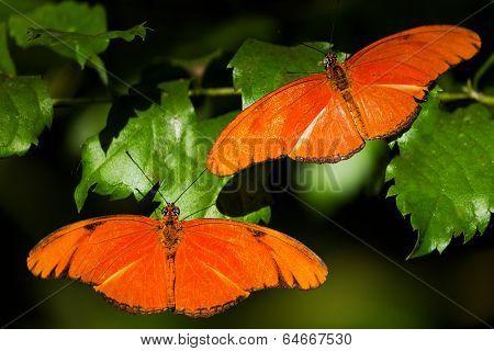 Two orange butterflies in butterfly house