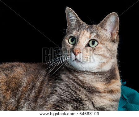 Tortoiseshell-tabby Cat Sitting On A Blanket Looking Surprised