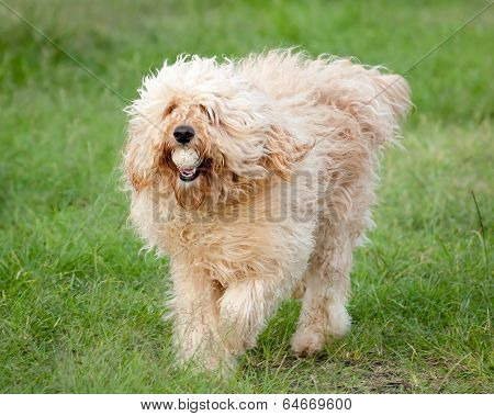 Curly Fleece Cream Labradoodle Fetching A Ball