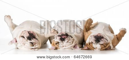 three tired english bulldogs laying on their backs
