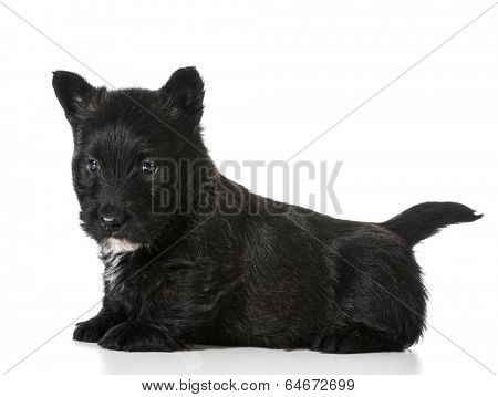 scottish terrier puppy sitting isolated on white background