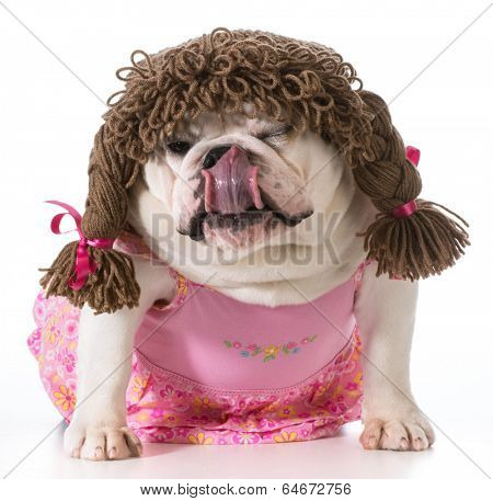 female dog - english bulldog wearing pink dress and pigtail wig isolated on white background