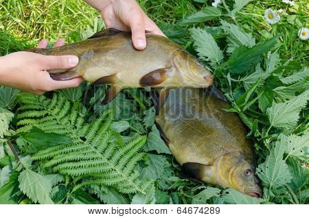 Hand Put Big Shiny Tench Fishes On Nettle