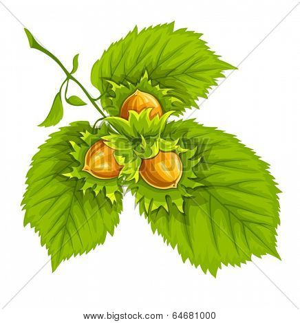 Nuts of hazelnut on green leaves. Eps10 vector illustration. Isolated on white background