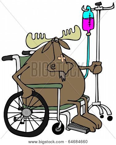 Moose in a wheelchair