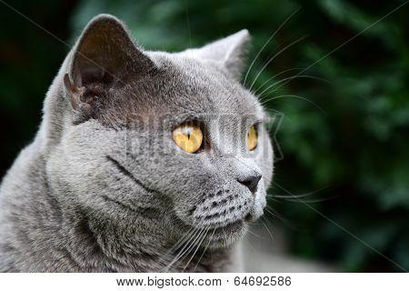 british blue cat portrait