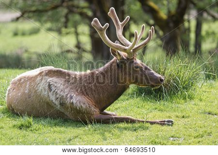 American Elk- Cervus Elaphus Roosevelti