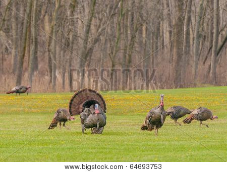 Wild Turkey (meleagris Gallopavo)