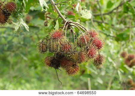 powdery mildew of rambutan