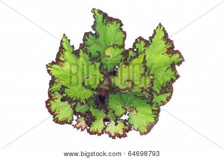 begonia leaves isolated on  white background