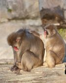 Pair of Macaques