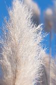 picture of pampas grass  - Cortaderia Selloana or Pampas grass macro vertical - JPG