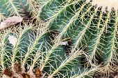 foto of mother law  - Echinocactus grusonii popularly known as the Golden Barrel Cactus Golden Ball or amusingly Mother - JPG