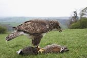 stock photo of buzzard  - A captive Buzzard standing over a dead Rabbit ready to feed - JPG