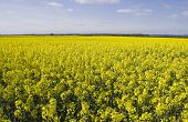 image of rape-seed  - Landscape image of oil seed rape fields in flower - JPG