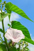 image of ipomoea  - Morning Glory Tree or Ipomoea carnea flowers and blue sky background