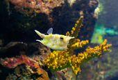 stock photo of longhorn  - Longhorn cowfish or Lactoria cornuta in aquarium Barcelona Spain - JPG