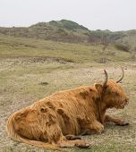 stock photo of highland-cattle  - Scottish Highland Cattle lying on the ground