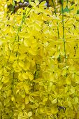 stock photo of cassia  - Mass of bloom of golden shower  - JPG