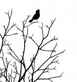stock photo of songbird  - Editable vector silhouette of a bird singing at the top of a bare tree - JPG