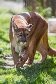 picture of cougar  - beautiful cougar walking on green spring grass in Oregon