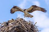 stock photo of osprey  - Brown  - JPG