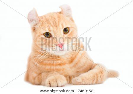 Foxy american curl kitten