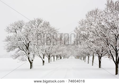 Tree Lined Road In A Snow Storm