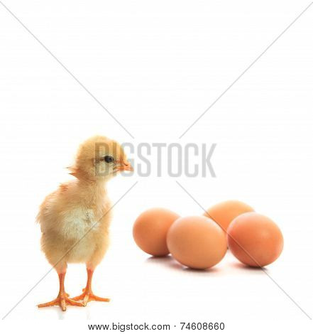 New Born Chick And Eggs On White Use For New Beginning Conception
