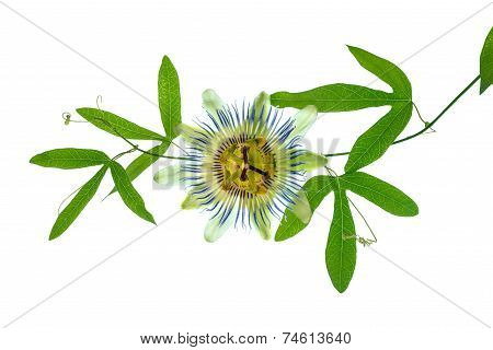 Closeup Of Green Passionflower Branch With Tendrils And Flower Head Is Isolated On White Backgroundn