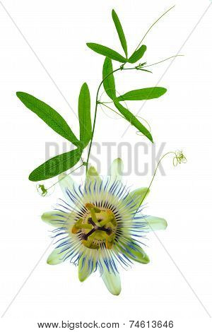 Beautiful Closeup Of Green Passionflower Branch With Tendrils And Flower Head Is Isolated On White B