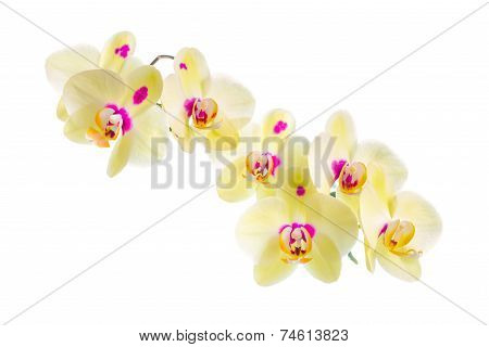 Branch Of Blooming Beautiful Yellow With Purple Spots Orchid Flower, Phalaenopsis Is Isolated On Whi
