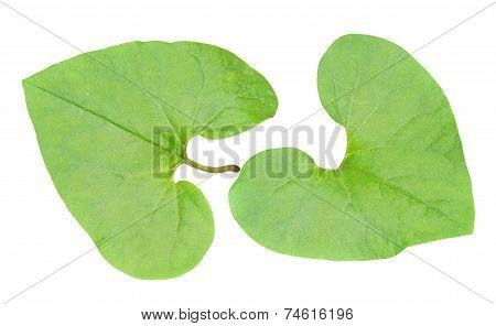 Medicinal Herb Coltsfoot