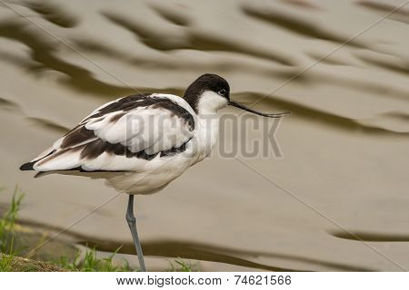 Avocet Wading Bird
