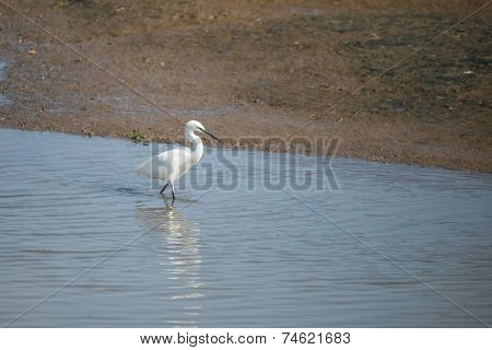 Great White Egret, Ardea Alba.