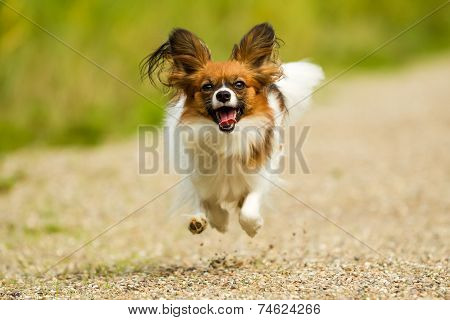 Running Papillon Dog