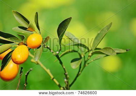 Closeup Of A Kumquat Plant