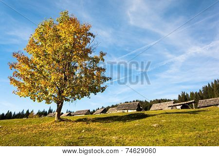 Colorful tree on plateau Pokljuka