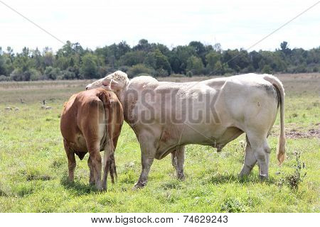 Bull & Cow in Field