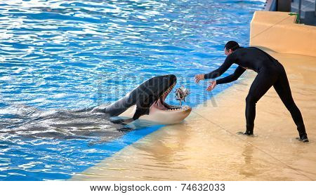 PUERTO DE LA CRUZ, TENERIFE - JULY 12: New Orca Ocean exhibit has helped the Loro Parque become Tenerife's second most popular attraction on July 12, 2014 in Puerto De La Cruz, Tenerife