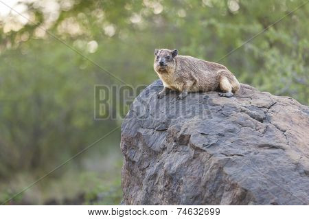 Hyrax At Lake Bogoria, Kenya