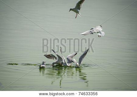 Seagulls Feasting