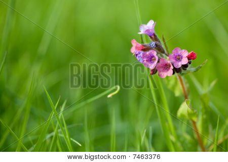 Pulmonaria Longiflora