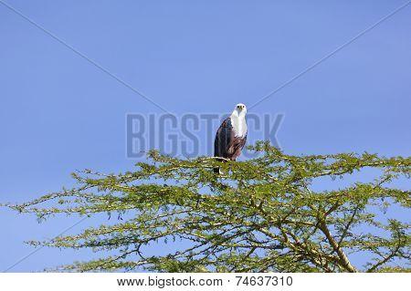 Fish Eagle At Lake Naivasha, Kenya