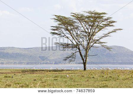 Tree At Lake Nakuru, Kenya