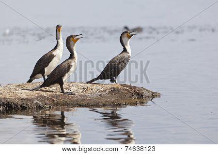 Reed Cormorants In Kenya