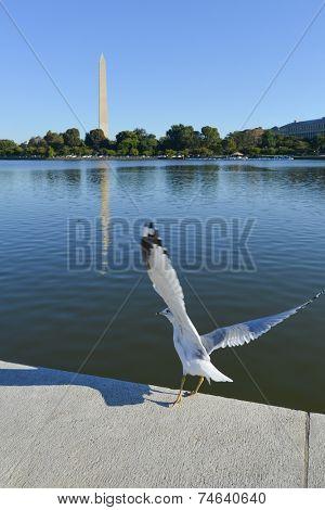Washington DC - Seagull at Tidal Basin with Washington Monument background